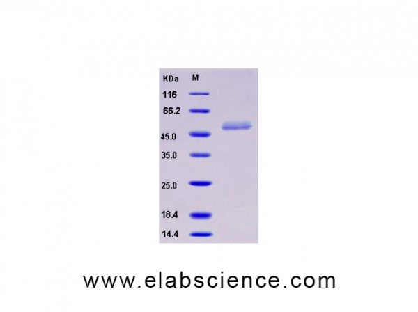 Recombinant Human ICOS / AILIM / CD278 Protein (His & Fc tag)