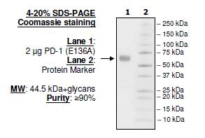 PD-1 (L128A), Fc fusion, Biotin-labeled