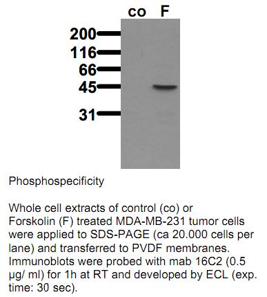 Anti-phospho-VASP (Ser239), clone 16C2