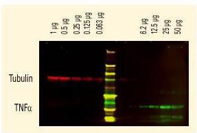 Anti-Biotin [RABBIT], DyLight 680 conjugated