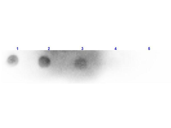 Anti-Mouse IgM (H&L) [Rabbit] Peroxidase conjugated
