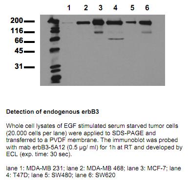 Anti-ErbB3 (amino acids 1250-1270), clone 5A12