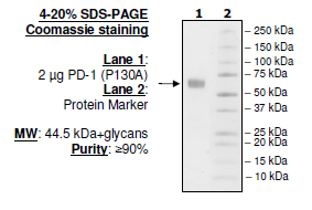 PD-1 (P130A), Fc fusion, Biotin-labeled