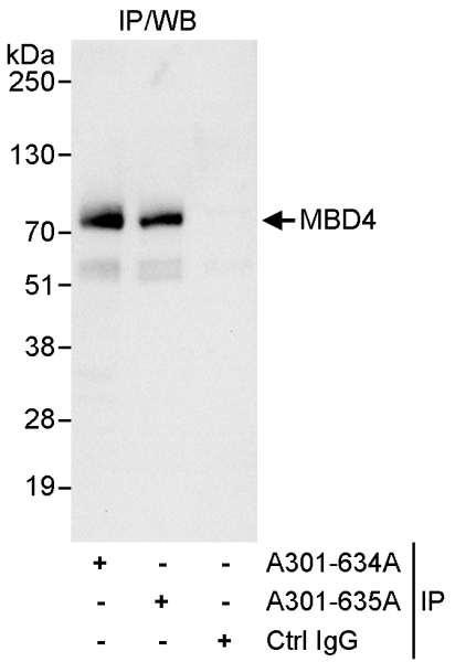 Anti-MBD4