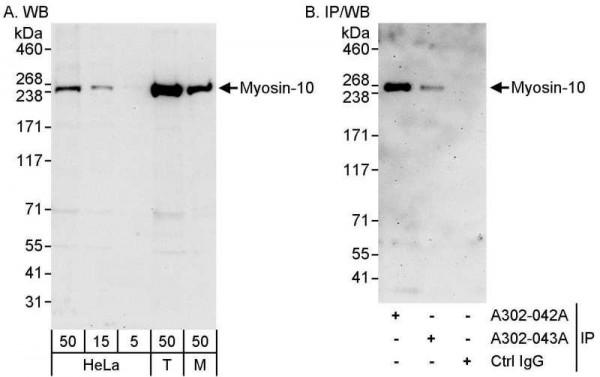 Anti-Myosin-10