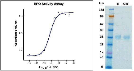 Erythropoietin (EPO), human recombinant (HumaXpress)