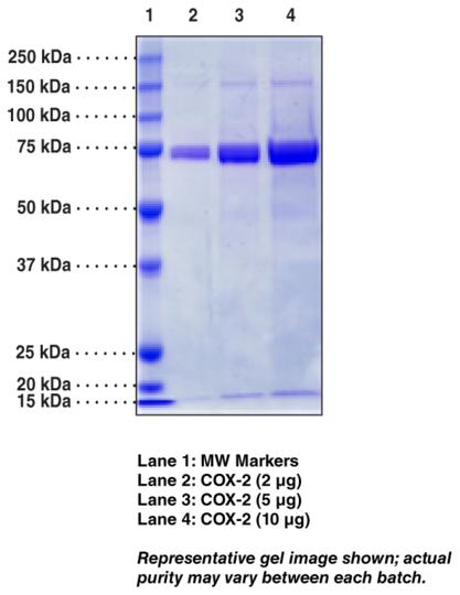 COX-2 (human recombinant)