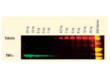 Anti-Mouse IgG (H&L) (Min X Human Serum Proteins), DyLight 549 conjugated
