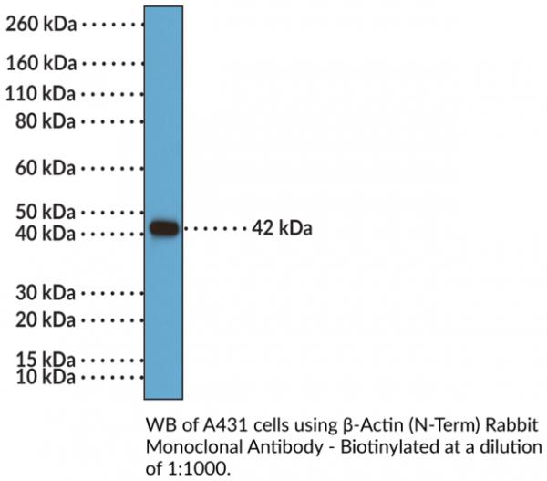 Anti-beta-Actin (N-Term) Rabbit Monoclonal Antibody, Biotin conjugated