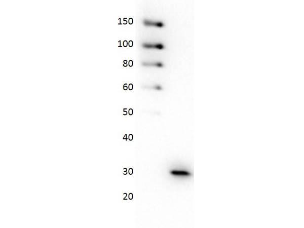 Anti-Green Fluorescent Protein (GFP, recombinant from Aequorea victoria), Horseradish Peroxidase con