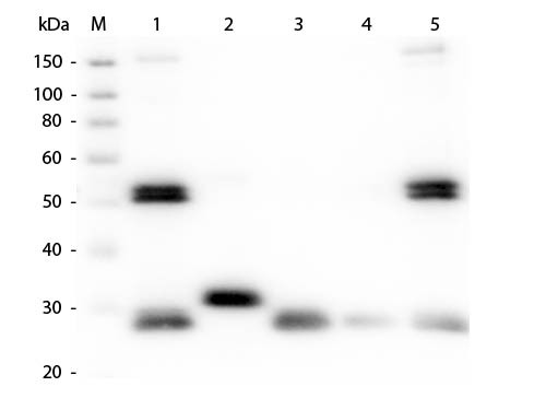 Anti-Rat IgG (H&L) (Min X Bv Ch Gt GP Ham Hs Hu Ms Rb & Sh Serum Proteins), DyLight 405 conjugated