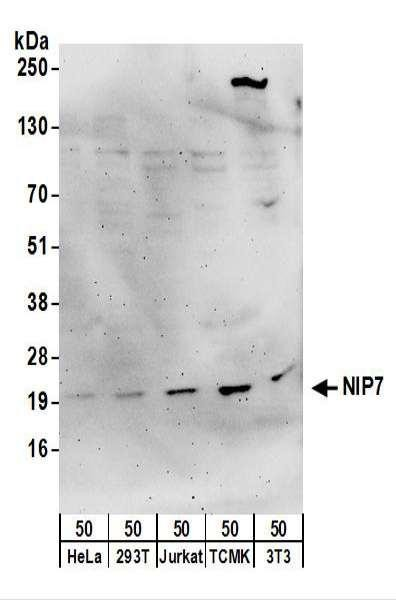 Anti-NIP7