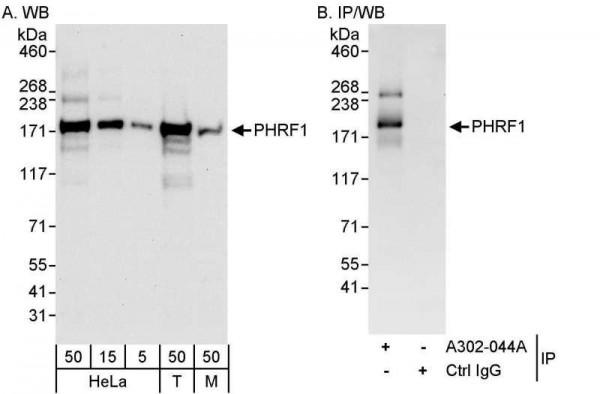 Anti-PHRF1