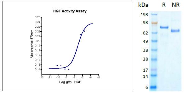 Hepatocyte Growth Factor (HGF), human recombinant (HumaXpress)