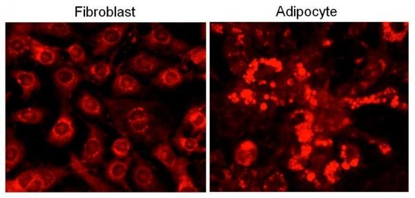 Cell Navigator(TM) Fluorimetric Lipid Droplet Assay Kit *Red Fluorescence*