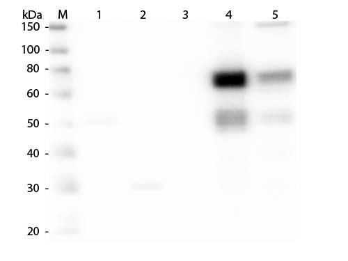 Anti-Rat IgM (mu chain), DyLight 549 conjugated