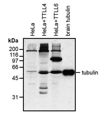 Anti-Polyglutamylation Modification, clone GT335