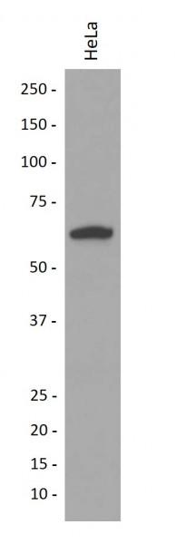 Anti-Cytokeratin 9