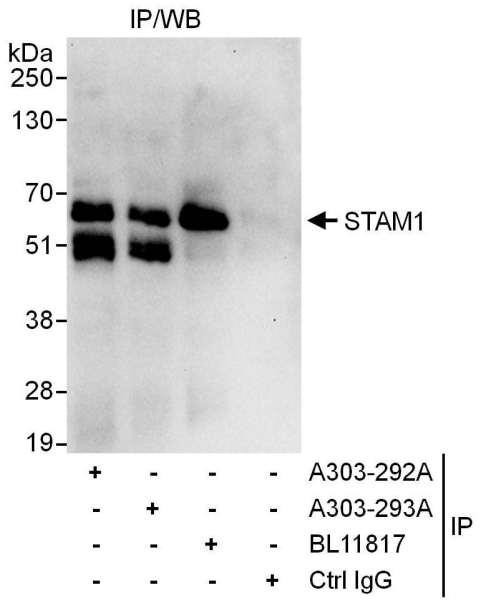 Anti-STAM1