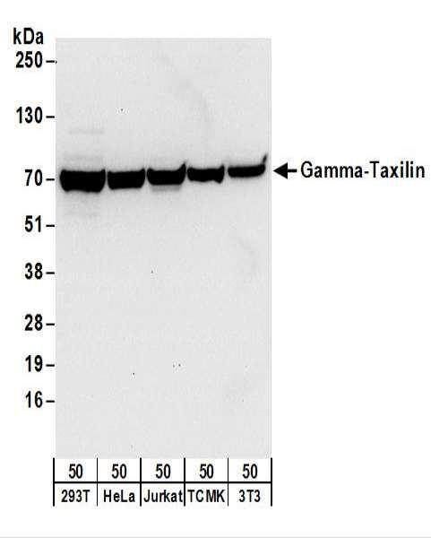 Anti-Gamma-Taxilin
