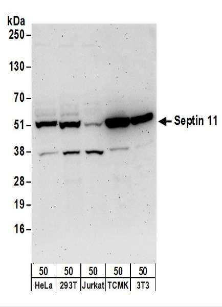 Anti-Septin 11