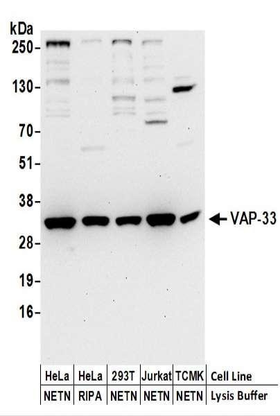 Anti-VAP-33