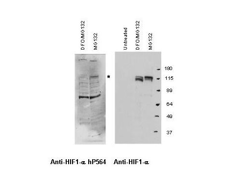 Anti-Hif-1alpha hydroxy-Pro564