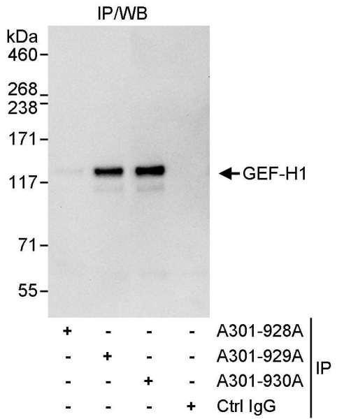Anti-GEF-H1