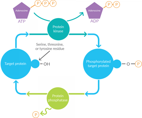 Kinase-Inhibitors-Phosphorylation-Process