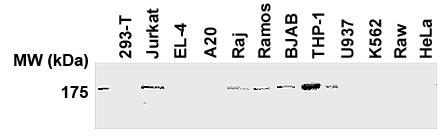 Anti-NALP1/NLRP1 (human) (AL176)