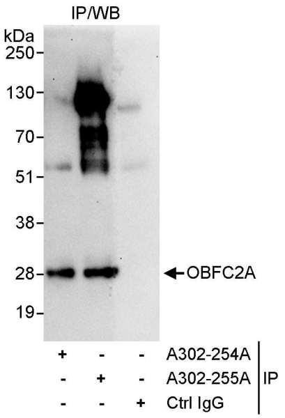 Anti-OBFC2A