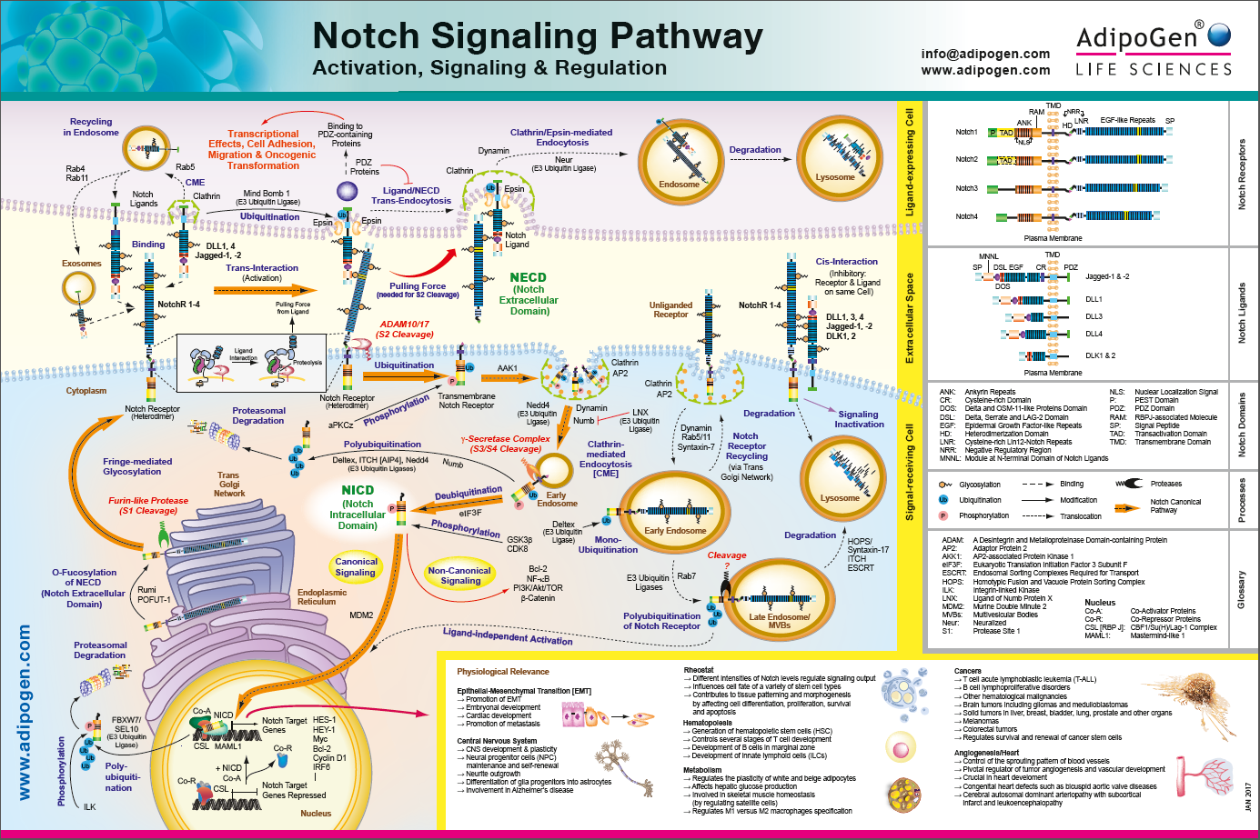 Notch Signaling Pathway - Activation, Signaling and Regulation
