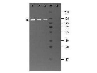 Anti-beta-Galactosidase, Fluorescein conjugated