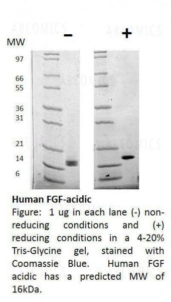 Human Fibroblast Growth Factor-acidic