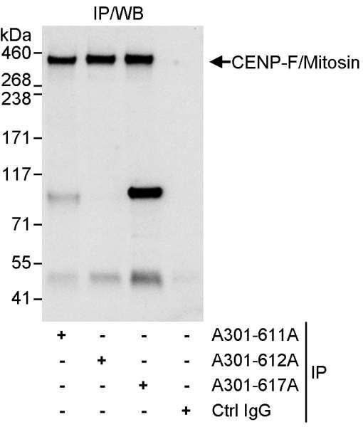 Anti-CENP-F/Mitosin