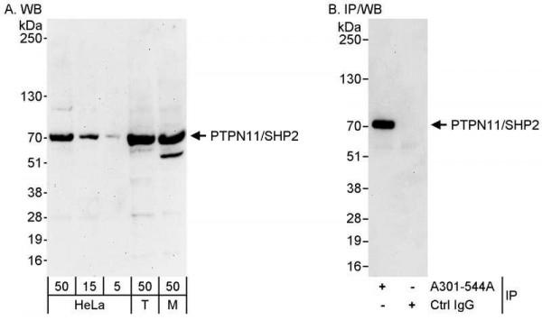 Anti-PTPN11/Shp2