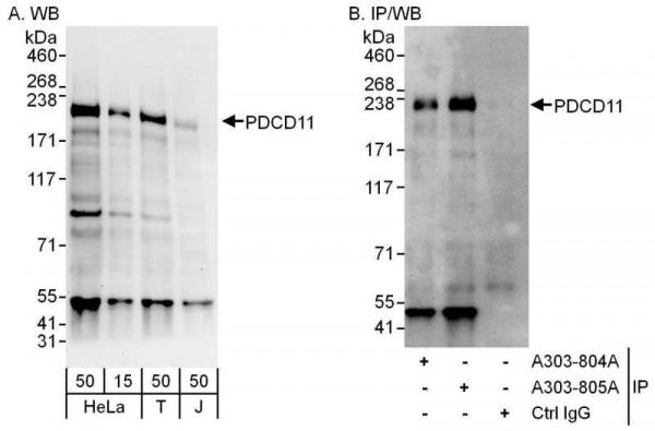 Anti-PDCD11