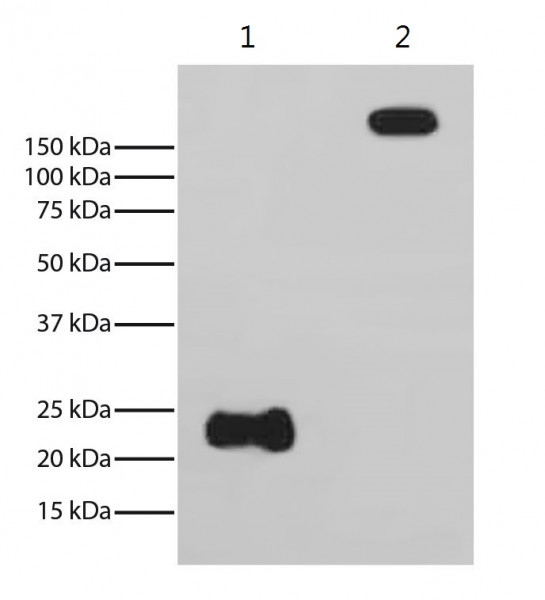 Anti-Rabbit Light Chain [SB62a] (HRP) [Mouse]