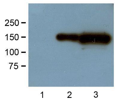 Anti-GFP, clone GF28R