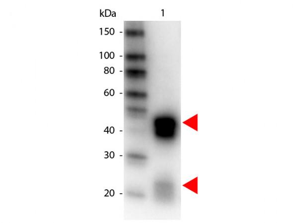 Anti-Rabbit IgG (H&L) [Donkey] Peroxidase conjugated