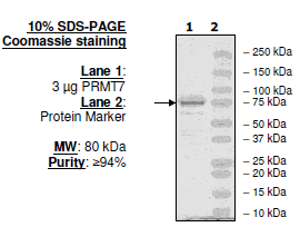 PRMT7, human recombinant protein
