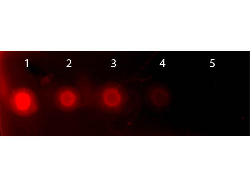 Human Transferrin Rhodamine Conjugated