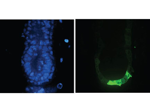 Anti-Green Fluorescent Protein (GFP)