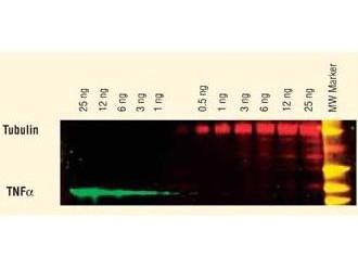 Anti-Goat IgG (H&L) (Min X Human Serum Proteins), DyLight 549 conjugated