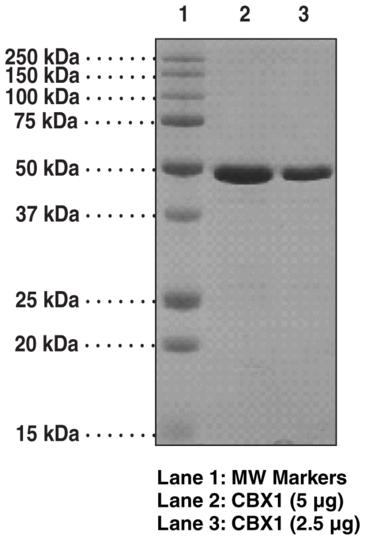 CBX1 (human recombinant)