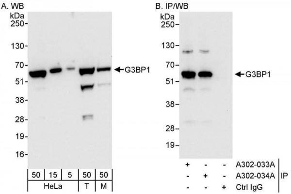 Anti-G3BP1