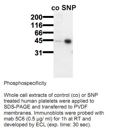 Anti-phospho-VASP (Ser157), clone 5C6