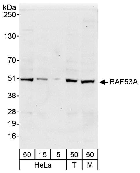 Anti-BAF53A