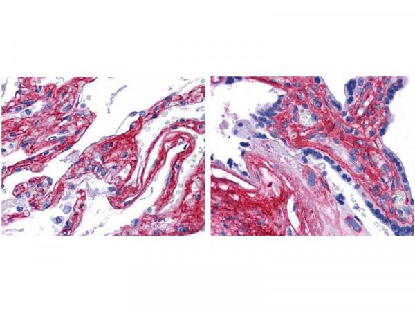 Anti-Collagen Type V, Fluorescein Conjugated