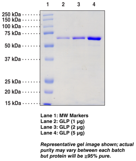 G9a-like protein (human recombinant)
